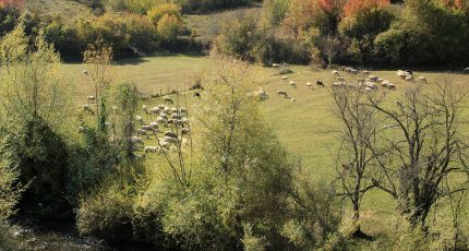 devoll river pasture sheep goats