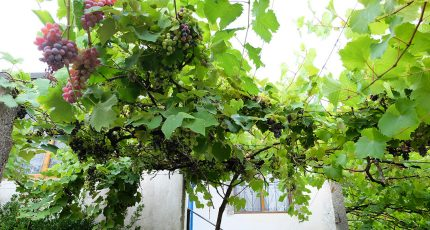 grape vines house zhulat gjirokaster